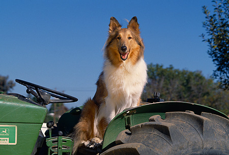 DOG 01 RK0660 04 © Kimball Stock Collie Sitting On Tractor Facing Camera Blue Sky
