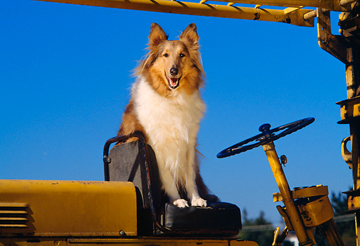 DOG 01 RK0661 02 © Kimball Stock Collie Sitting On Seat Of Tractor