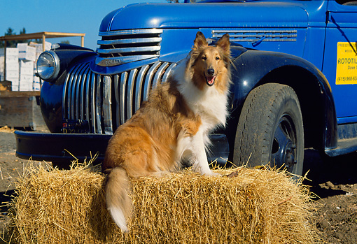 DOG 01 RK0662 07 © Kimball Stock Collie Sitting On Hay By Truck