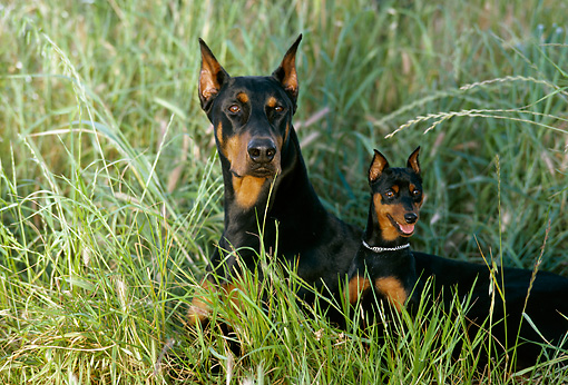 DOG 01 RK0678 07 © Kimball Stock Female And Puppy Doberman Pinschers Laying Together In Tall Grass