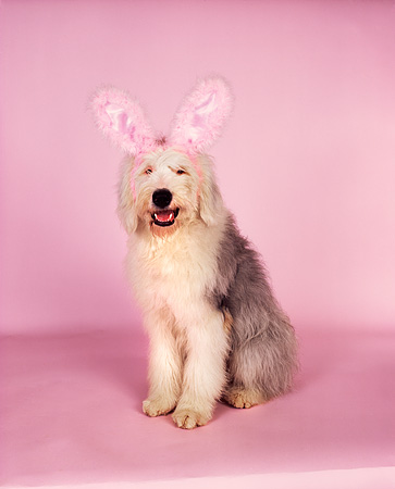 DOG 01 RK0710 05 © Kimball Stock Old English Sheepdog Sitting Wearing Rabbit Ears On Pink Seamless Facing Camera