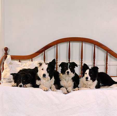 DOG 01 RS0011 05 © Kimball Stock Four Border Collie Dogs Laying On Bed