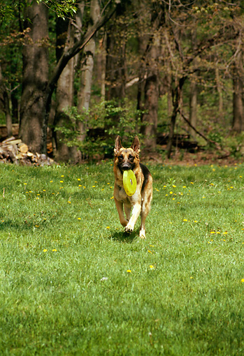 DOG 01 RS0042 01 © Kimball Stock German Shepherd Running On Grass With Frisbee In Mouth