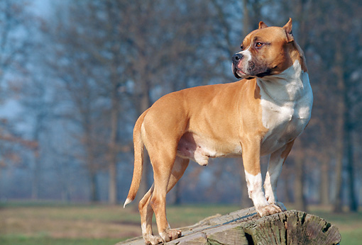 DOG 02 AB0001 01 © Kimball Stock American Staffordshire Terrier Standing On Stump