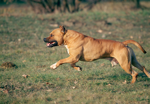 DOG 02 AB0003 01 © Kimball Stock American Staffordshire Terrier Running On Grass