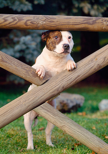 DOG 02 AB0005 01 © Kimball Stock American Staffordshire Terrier Leaning On Wooden Fence