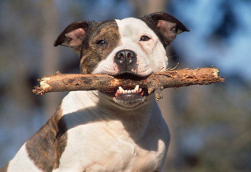 DOG 02 AB0007 01 © Kimball Stock American Staffordshire Terrier Holding Stick In Mouth