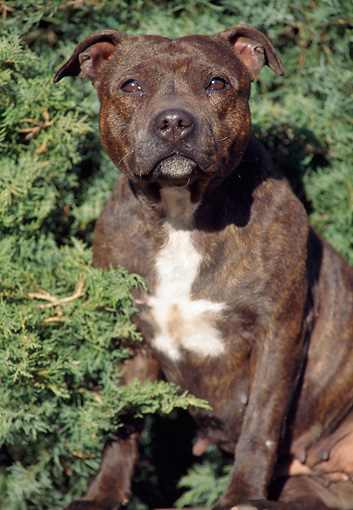 DOG 02 AB0008 01 © Kimball Stock American Staffordshire Terrier Sitting In Shrubs
