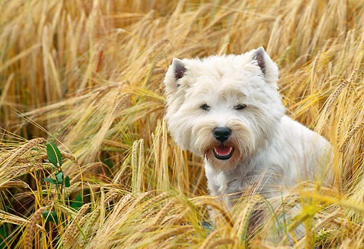DOG 02 AB0011 01 © Kimball Stock West Highland Terrier Sitting In Wheat Field