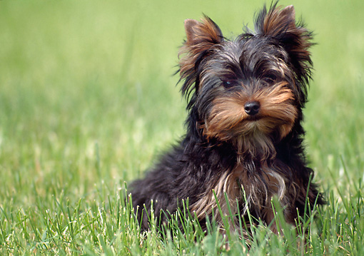 DOG 02 AB0012 01 © Kimball Stock Yorkshire Terrier Sitting On Lawn