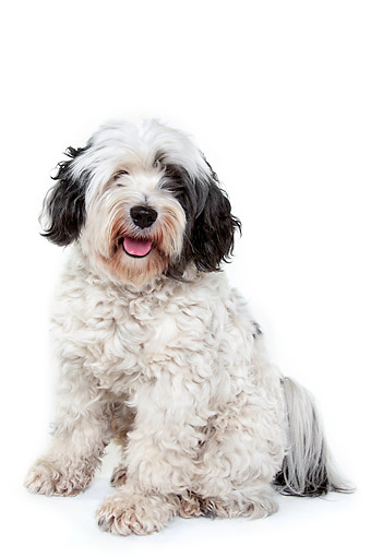 DOG 02 AC0006 01 © Kimball Stock Tibetan Terrier Sitting In Studio