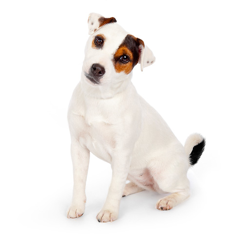 DOG 02 BK0005 01 © Kimball Stock Jack Russell Terrier Sitting On White Seamless