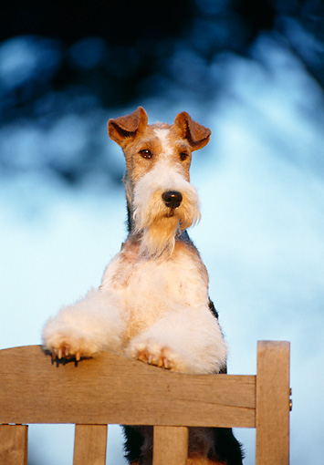 DOG 02 CB0001 01 © Kimball Stock Portrait Of Fox Terrier Leaning On Wooden Bench