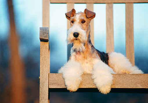 DOG 02 CB0002 01 © Kimball Stock Portrait Of Fox Terrier Laying On Wooden Bench