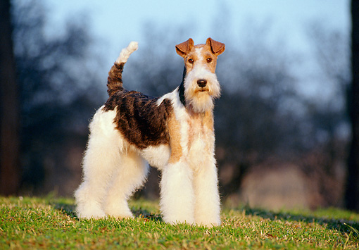 DOG 02 CB0003 01 © Kimball Stock Portrait Of Fox Terrier Standing On Grass