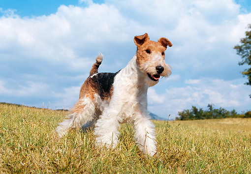 DOG 02 CB0005 01 © Kimball Stock Fox Terrier Walking Through Grass Field