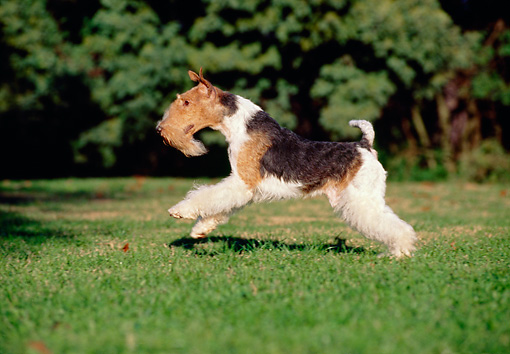 DOG 02 CB0006 01 © Kimball Stock Fox Terrier Running Through Grass Field