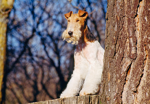 DOG 02 CB0007 01 © Kimball Stock Fox Terrier Standing Behind Tree