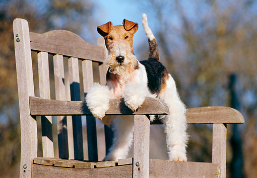 DOG 02 CB0009 01 © Kimball Stock Fox Terrier Standing On Wooden Bench