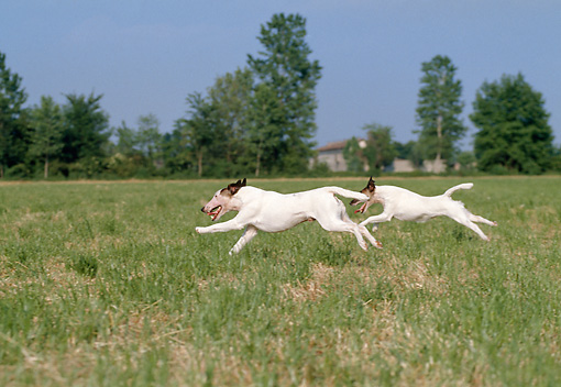 DOG 02 CB0010 01 © Kimball Stock Two Smooth Fox Terriers Running In Grass Field