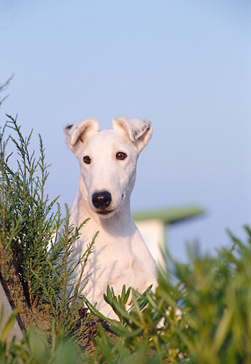DOG 02 CB0011 01 © Kimball Stock Portrait Of Smooth Fox Terrier Sitting In Grass