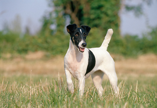 DOG 02 CB0013 01 © Kimball Stock Smooth Fox Terrier Standing In Field