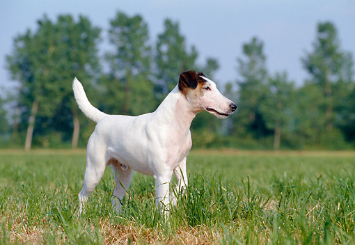 DOG 02 CB0014 01 © Kimball Stock Smooth Fox Terrier Standing In Field