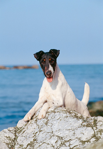 DOG 02 CB0015 01 © Kimball Stock Smooth Fox Terrier Laying On Rock By Water