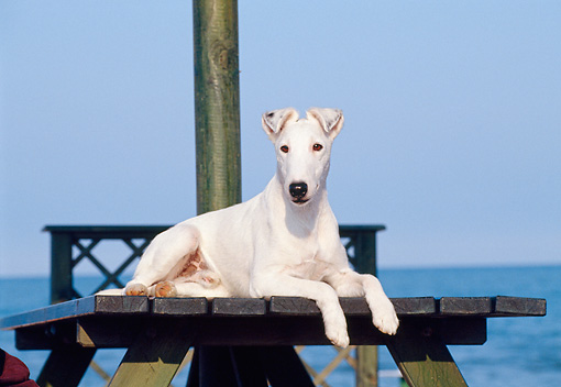 DOG 02 CB0016 01 © Kimball Stock Smooth Fox Terrier Laying On Picnic Table By Water