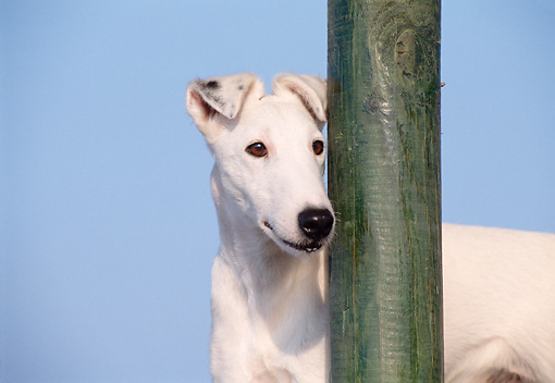 DOG 02 CB0017 01 © Kimball Stock Close-Up Of Smooth Fox Terrier Standing By Post