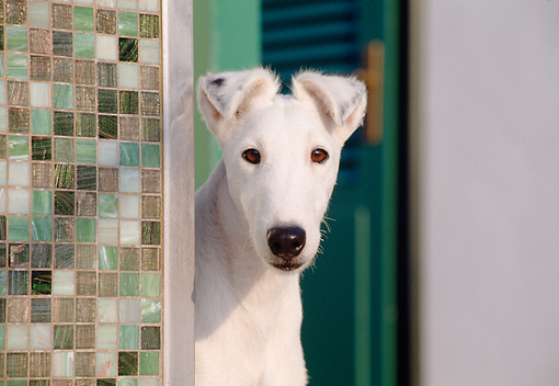 DOG 02 CB0019 01 © Kimball Stock Close-Up Of Smooth Fox Terrier Standing By Tiled Wall
