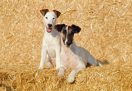 DOG 02 CB0020 01 © Kimball Stock Smooth Fox Terrier Adult And Puppy On Hay Bale