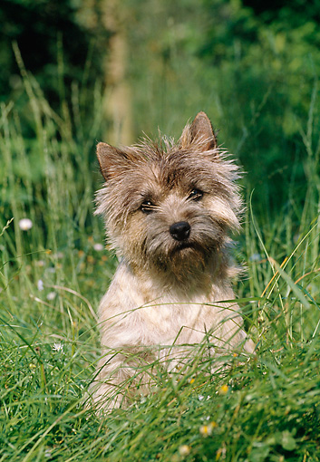 DOG 02 CB0023 01 © Kimball Stock Cairn Terrier Sitting In Tall Grass