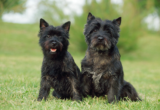 DOG 02 CB0024 01 © Kimball Stock Two Cairn Terriers Sitting On Grass