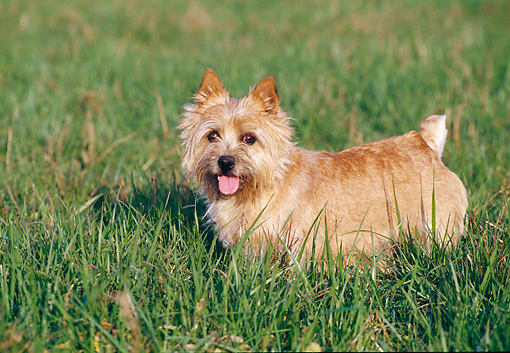 DOG 02 CB0027 01 © Kimball Stock Norwich Terrier Standing On Grass Profile