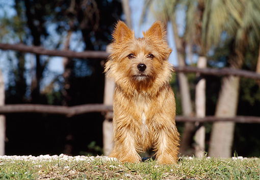 DOG 02 CB0030 01 © Kimball Stock Norwich Terrier Sitting On Grass