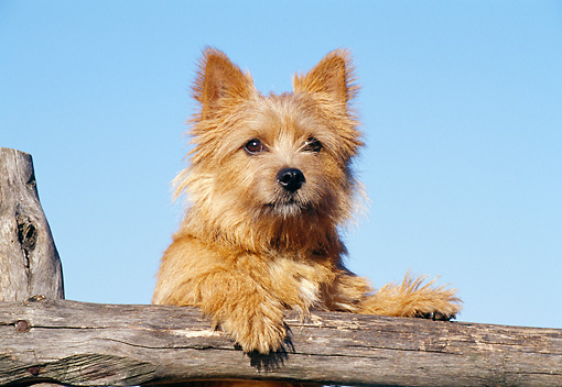 DOG 02 CB0031 01 © Kimball Stock Norwich Terrier Leaning On Wooden Post