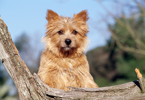DOG 02 CB0032 01 © Kimball Stock Norwich Terrier Leaning On Log