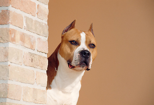 DOG 02 CB0036 01 © Kimball Stock American Staffordshire Terrier Standing By Brick Wall