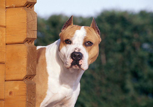 DOG 02 CB0037 01 © Kimball Stock American Staffordshire Terrier Standing By Wooden Wall
