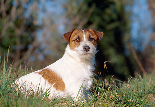 DOG 02 CB0047 01 © Kimball Stock Jack Russell Terrier Sitting In Grass