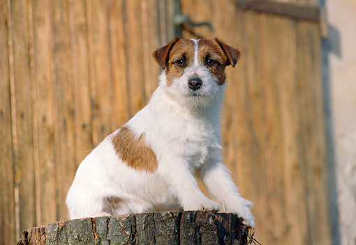 DOG 02 CB0048 01 © Kimball Stock Jack Russell Terrier Sitting On Stump