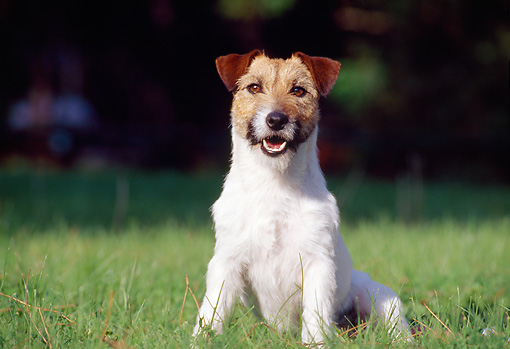 DOG 02 CB0049 01 © Kimball Stock Jack Russell Terrier Sitting On Grass