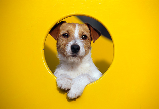 DOG 02 CB0050 01 © Kimball Stock Jack Russell Terrier Peeking Out Of Yellow Play Structure