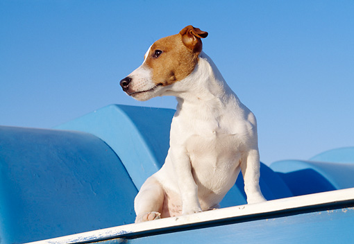 DOG 02 CB0051 01 © Kimball Stock Jack Russell Terrier Sitting On Blue Play Structure