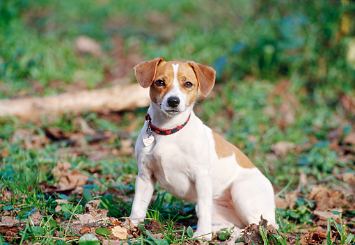 DOG 02 CB0053 01 © Kimball Stock Jack Russell Terrier Sitting On Grass