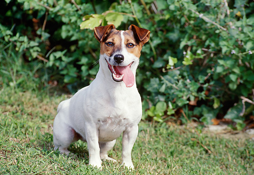 DOG 02 CB0054 01 © Kimball Stock Jack Russell Terrier Sitting On Grass