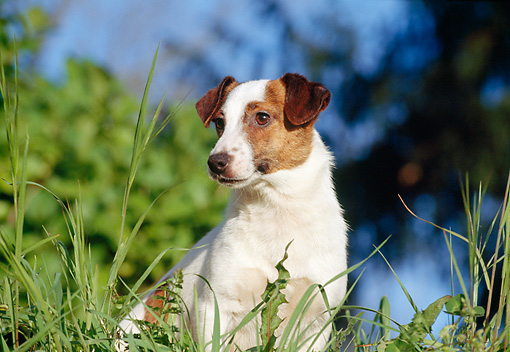 DOG 02 CB0055 01 © Kimball Stock Close-Up Of Jack Russell Terrier Sitting In Tall Grass