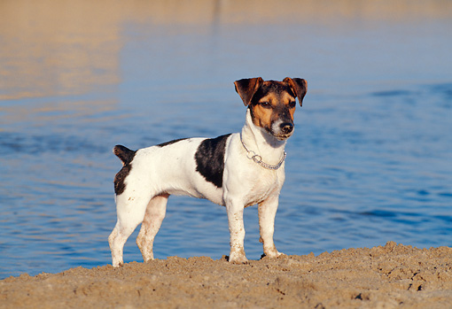 DOG 02 CB0056 01 © Kimball Stock Jack Russell Terrier Standing On Beach