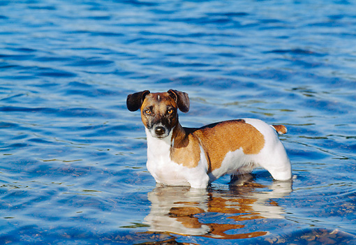 DOG 02 CB0057 01 © Kimball Stock Jack Russell Terrier Standing In Water